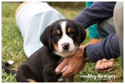 Greater Swiss Mountain dog puppy at 6 weeks old