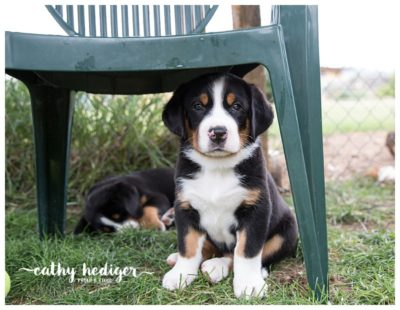 Precious Greater Swiss Mountain dog puppy